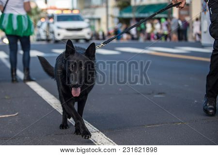 Black Police Dog Patrolling Street Parade On Leash With Eyes Looking Ahead.