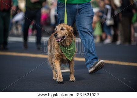 Happy Golden Retriever Walking Along Saint Patrick Day Parade Route Wearing Green Bandana Around Nec