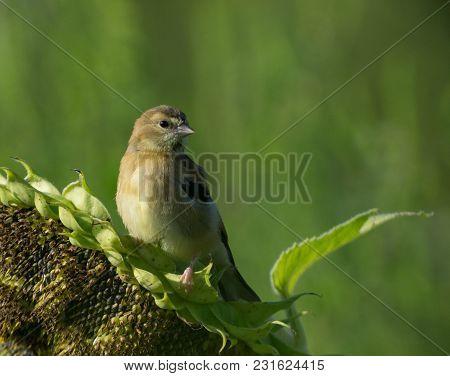 Gold Finch Sitting On Sunflower In Pennsylvania Field.