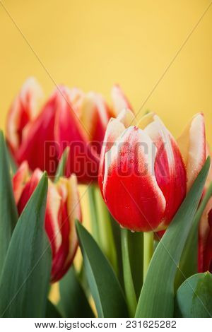 Closeup Of Two Color Tulips, In Red And Yellow, Blooming In Spring. Yellow Background With Copy Spac