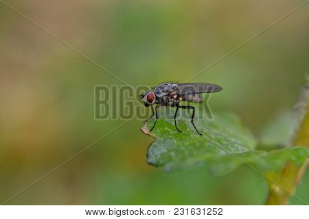 Delia Radicum, Known Variously As The Cabbage Fly, Cabbage Root Fly, Root Fly Or Turnip Fly, Is A Im