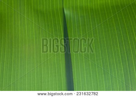 Abstract Of Nature One Part Banana Green Leaves Overlap On Center For Background.