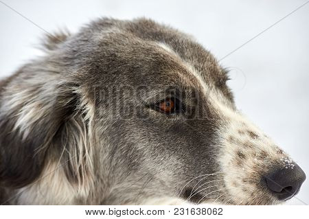 The Tazy, Or The Central Asian Greyhound, Or The Kazakh Greyhound, Or The Turkmen Greyhound, Are A B