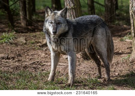 Wolf Pictured In Woodland In The Uk Taken In 2018