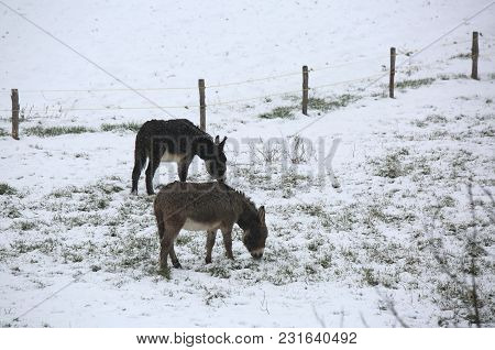 Two Shivering Donkeys Graze On The Frozen Grass In Winter With The Snow