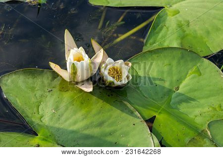 Growing Water Lilies On The Water. Flowers On The Water.