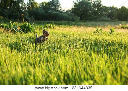 Yorkshire Terrier Runs Through The Grass In The Evening