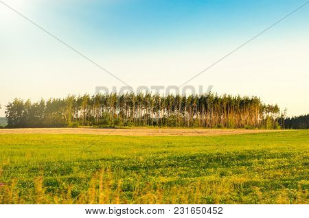 A Pine Grove In The Green Field