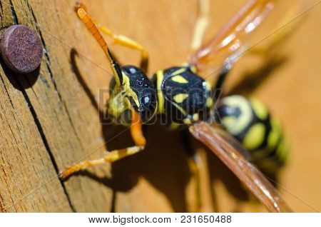 A Wasp On A Wooden Background Macro