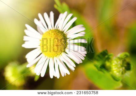 A Chamomile Flower In A Garden Closeup