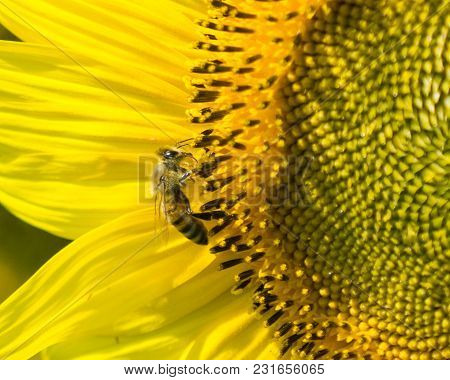 Honey Bee Sitting On Sunflower In Field In Berks County, Pennslvania.