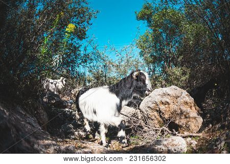 Goats On A Mountain Path.