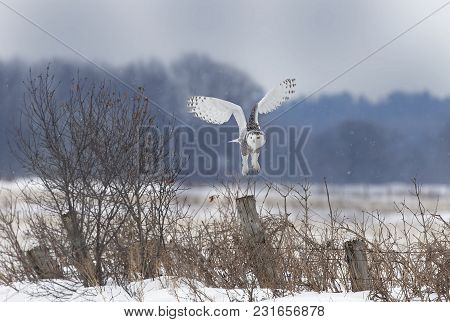 Snowy Owl (bubo Scandiacus) Flies Low Hunting Over An Open Snowy Field In Canada