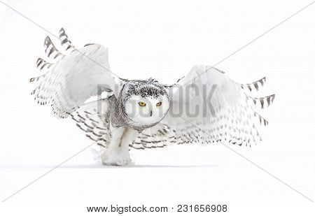 Snowy Owl (bubo Scandiacus) Takes Flight Hunting Over A Snowy Field