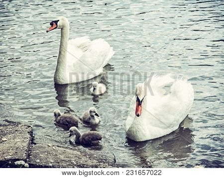Swan Parents With Her Youngs In The Water. Seasonal Natural Scene. Cycle Of Nature. Blue Photo Filte
