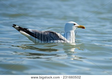 Seagull Swimming On The Sea. Seagulls Are Seabirds Of The Family Laridae In The Suborder Lari.