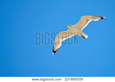 White Seagull Over Blue Sky Background. Seagulls Are Seabirds Of The Family Laridae In The Suborder