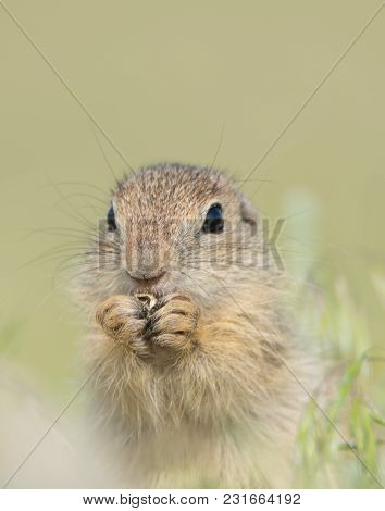 Closeup Of A Cute European Ground Squirrel Eating On Blurry Background, Spermophilus Citellus