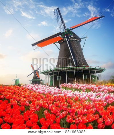 Traditional Dutch Windmill Of Zaanse Schans And Tulips At Sunrise, Netherlands, Retro Toned