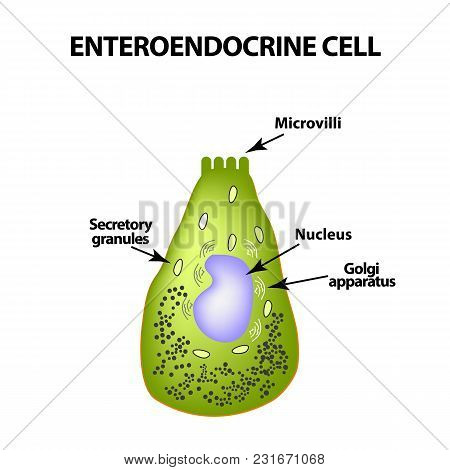 Enteroendocrine Cell. Cell Of The Intestines. Vector Illustration On Isolated Background.