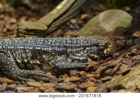 The Argentine Black And White Tegu, Also Called The Argentine Giant Tegu, Is The Largest Species Of