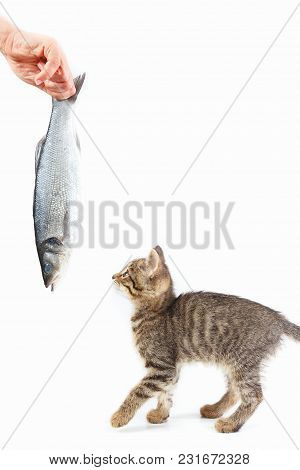 Little Kitten Looking At Sea Bass Fish Which Gives It A Female Hand On A White Background