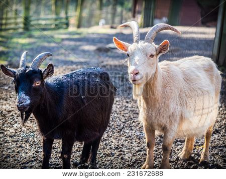 Pair Of Black And White Male Goats On A Sunny Spring Day