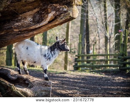Cute Baby Goat Standing On A Tree Trunk On A Sunny Spring Day