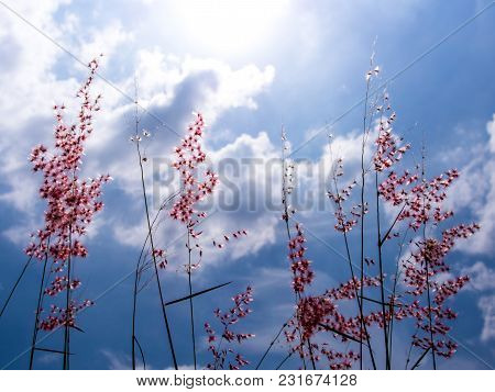 Natal Ruby Grass Flowers In The Bright Sunlight And Fluffy Clouds In Blue Sky