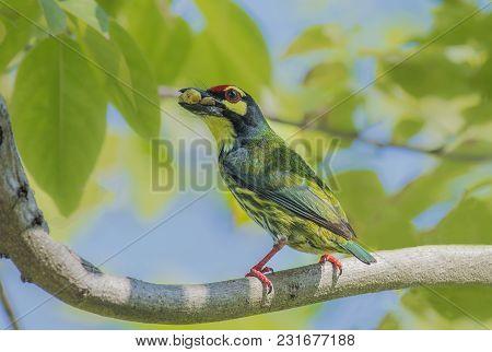 Bird (coppersmith Barbet Crimson-breasted Barbet Coppersmith Megalaima Haemacephala) Yellow Color Ea