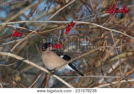 Eurasian Bullfinch Female Sitting On Branch Of Bush And Eating Viburnum