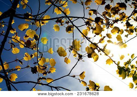 Tulip Tree Leaves In Spring Against Sunlight And Blue Sky. Meanwhile Concept