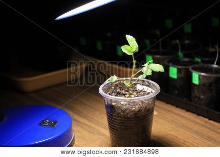 Evening Supplementary Lighting Of Young Sprout Of Rose Flower From Seed In Early Spring By Led Lamp