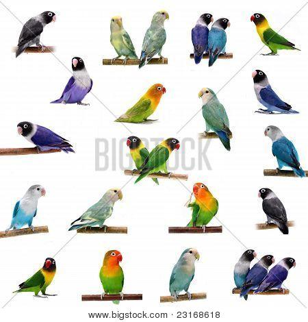 Set Lovebirds isolated on white