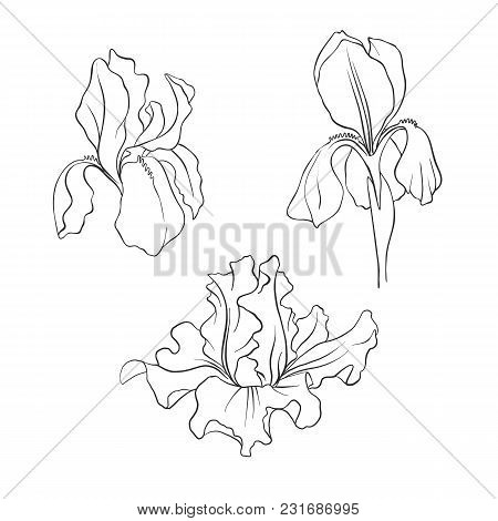 Iris Flowers, Vintage Vector Floral Set Of Isolated Elements In Victorian Style, Imitation Of Engrav