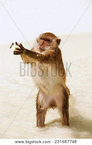 Crab-eating Macaque For Food At The Beach On Phi Phi Don Island, Krabi Province, Thailand. Koh Phi P