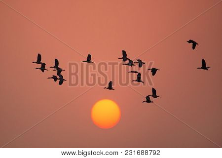 Silhouetted Lesser Whistling Ducks Flying At Sunset In Keoladeo Ghana National Park, Bharatpur, Indi