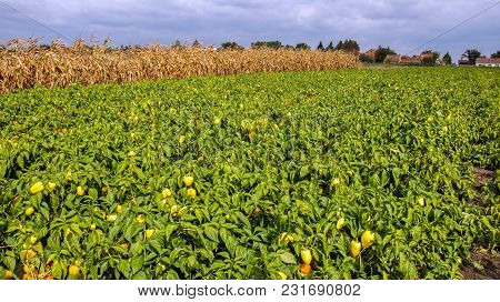 Plantation Of Peppers In The Field. Yellow Bell Pepper Plants With Ripe Fruits In The Field.