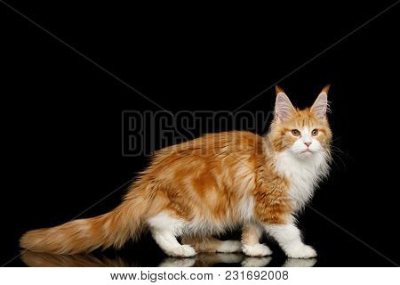Ginger Maine Coon Cat, Standing In Pose With Down Tail, Isolated Black Background, Side View