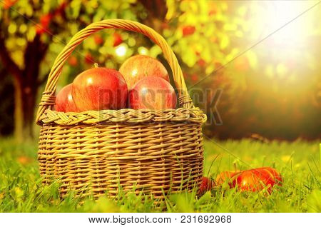 Wicker Basket Full Of Red Apples In Foreground And Apple Trees In Background At Sunset Stylized To F