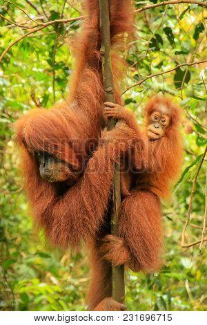 Female Sumatran Orangutan With A Baby Sitting On A Tree In Gunung Leuser National Park, Sumatra, Ind