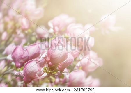 Soft Focus Image Of Blossoming Magnolia Flower In Springtime With Sun Light And Copyspace. Abstract