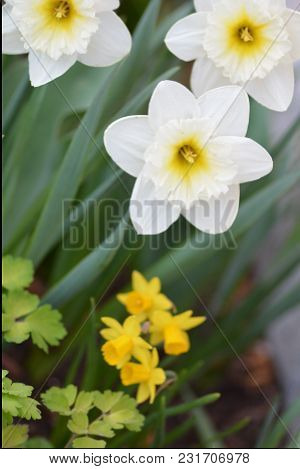Daffodil, Spring Blooming Flowers, Narcissus Blooming, Bright Spring Blooming Flowers