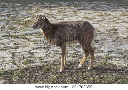 Cllose Up Female European Mouflon (ovis Orientalis Musimon) Standing On The Court, Captive Animal