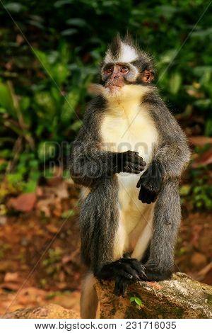 Thomas Leaf Monkey (presbytis Thomasi) Sitting On The Ground In Gunung Leuser National Park, Bukit L