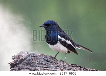 Oriental Magpie-robin (copsychus Saularis) Sitting On A Tree In Keoladeo Ghana National Park, Bharat
