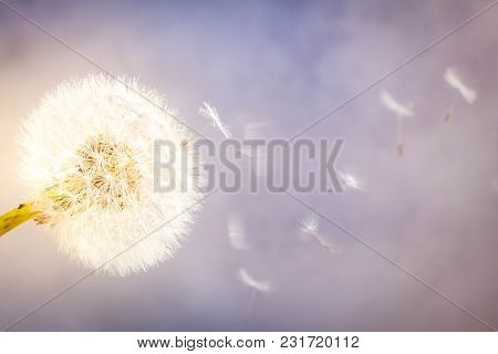 White Dandelion Head Blowball With Flying Seeds On Gray Background With Defocused Lights, Retro Tone