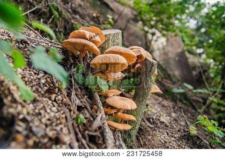 Velvet Shank (flammulina Velutipes) Mushrooms Growing On Wet Tree Trunk
