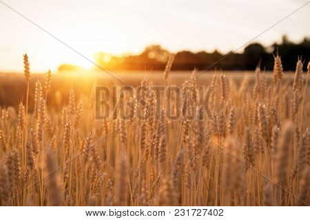 Ears In A Wheat Field During The Sunset, Rays Of The Sun Make Their Way Through The Spikelets Of Whe