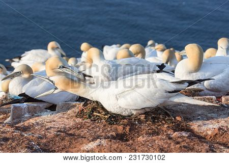 Angry Nesting Northern Gannet With Wide Open Bill At Cliffs Of German Island Helgoland
